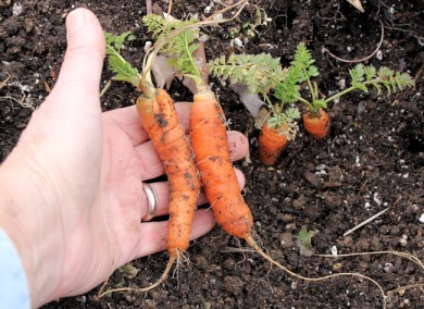 buried treasure, in the form of carrots