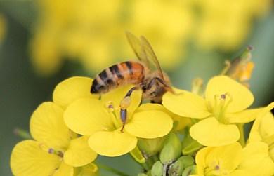 honeybee collecting pollen from flowering brassica