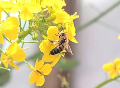 honeybee on flowering Asian greens