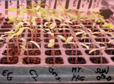 tomatoes germinating in 200 cell plug tray