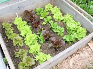cold frame lettuces