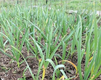 garlic after fertilizing
