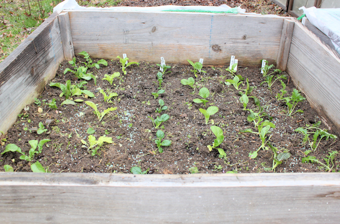 cold frame bed with Asian greens