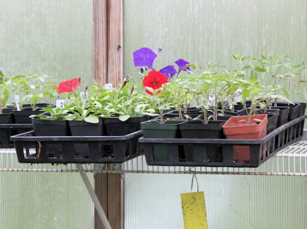 petunias and tomatoes hang out together on the shelf