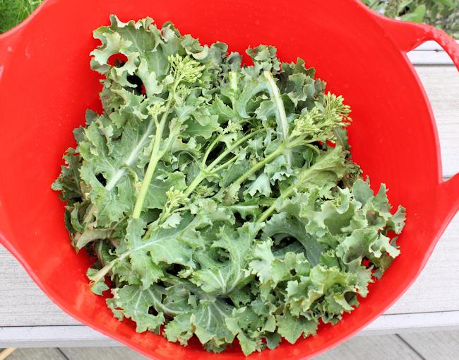 harvest of Beedy's Camden kale