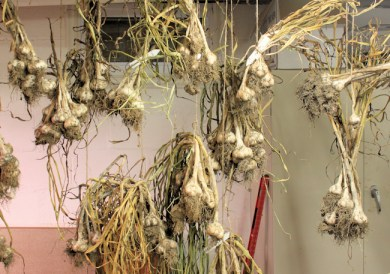 garlic hanging to dry