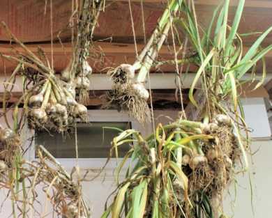 garlic hanging in basement to dry