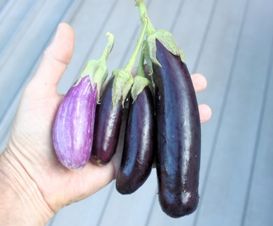 first eggplants of 2013
