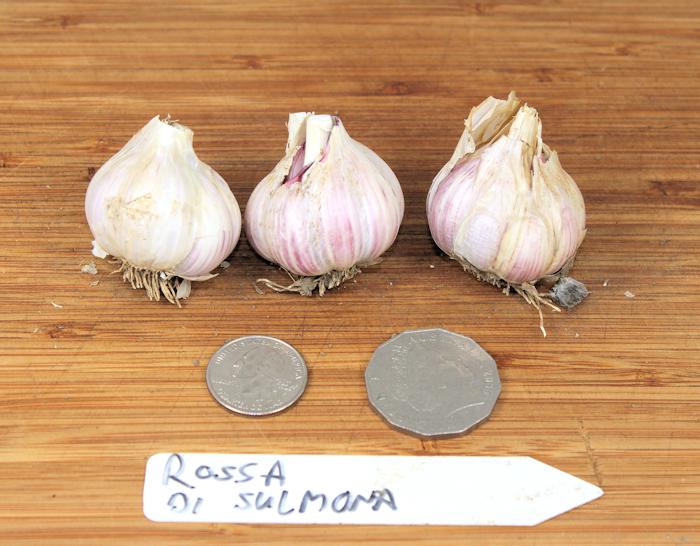 Rossa di Sulmona creole garlic