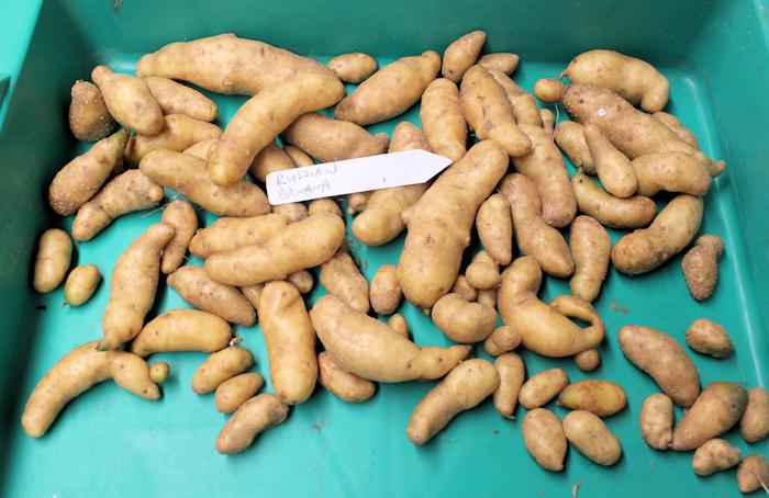 Russian Banana fingerling potatoes