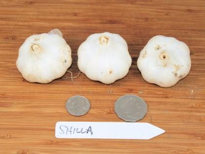 Shilla turban garlic