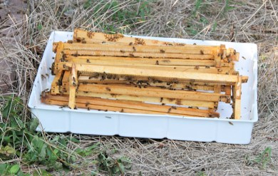 bees cleaning up the frames