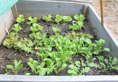 bed with lettuce and arugula
