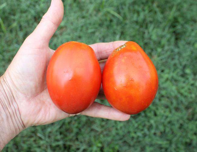 Ludmilla's Red Plum tomato