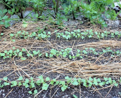 radishes coming up