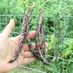 Rattlesnake pole beans