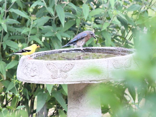 male goldfinch and female bluebird
