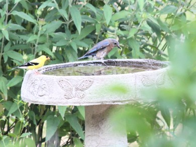 male goldfinch and female bluebird