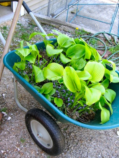 digging up and splitting the Royal Standard hostas