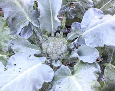 fall broccoli heading up