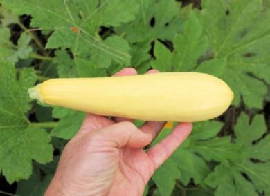 Enterprise yellow squash
