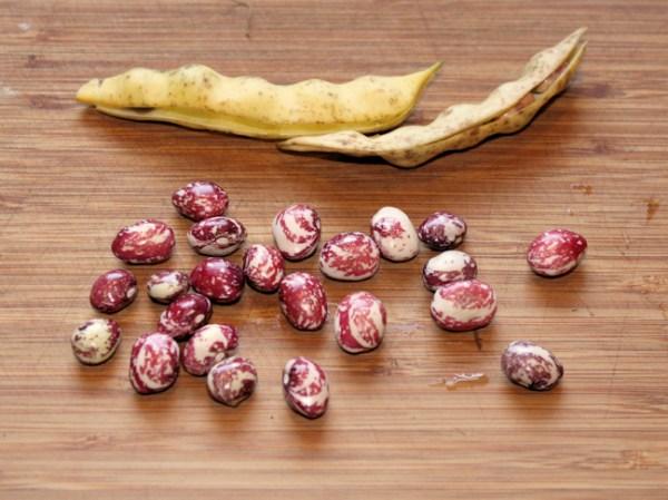 Good Mother Stallard beans and pods