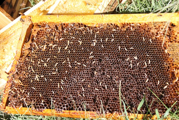 nothing left on this frame but SHB larvae