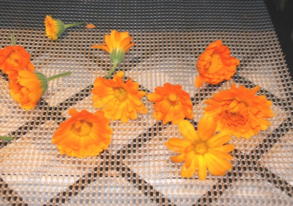 calendula drying in dehydrator
