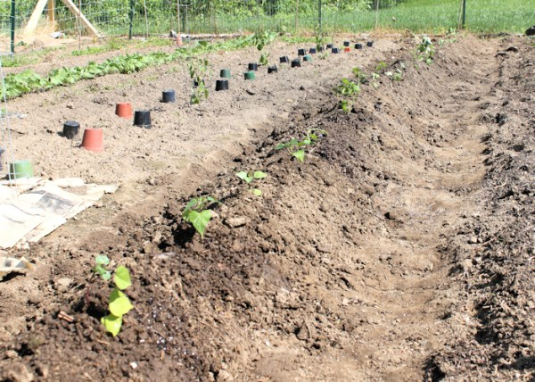 finished row of sweet potatoes after planting in late May