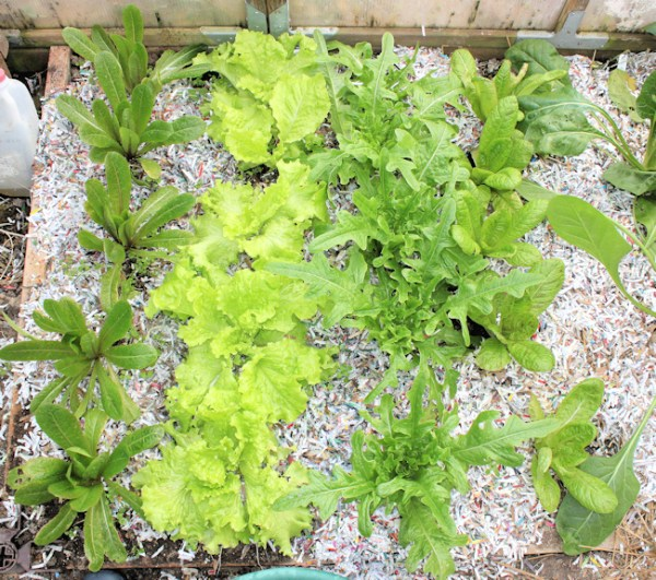greenhouse bed with lettuce planted