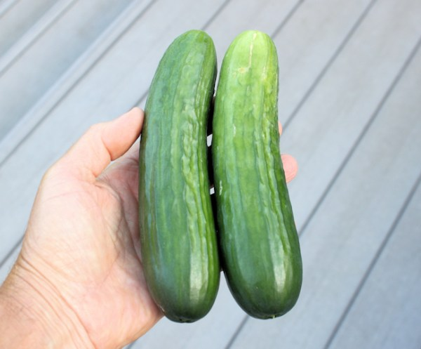 Manny cucumbers from greenhouse