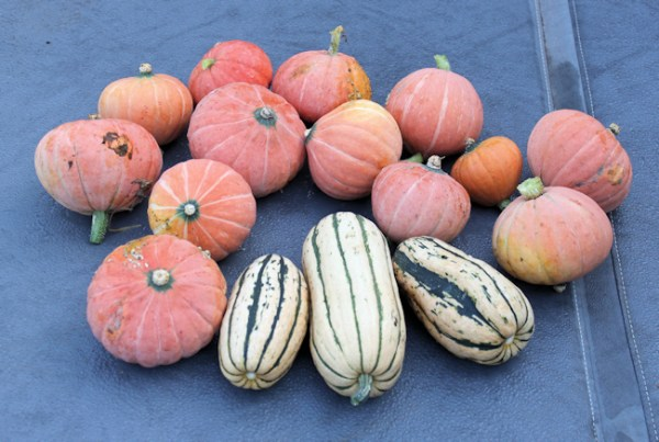 Gold Nugget and Delicata squashes