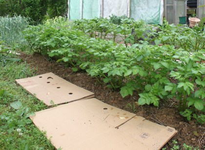 using cardboard for mulch
