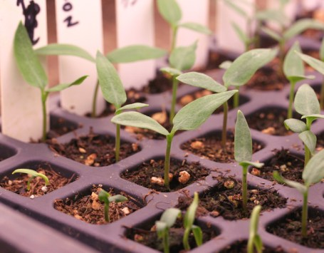 peppers germinating in plug tray
