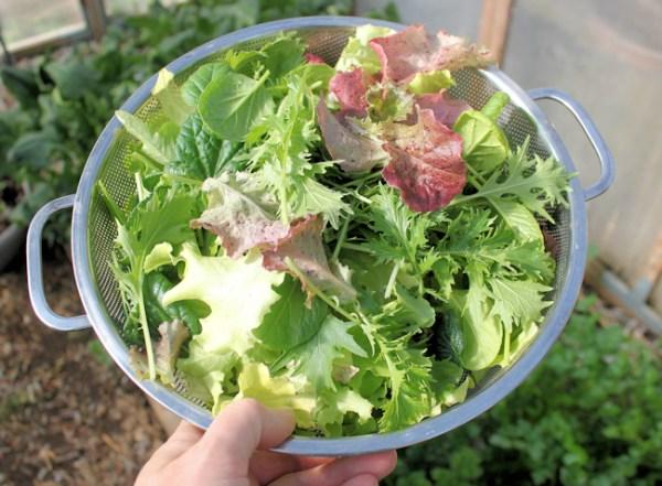 harvest of baby salad greens