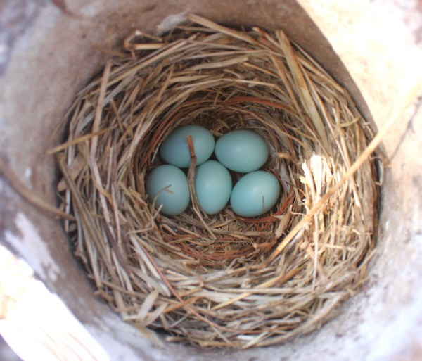 bluebird nest with 5 eggs