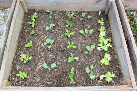 cold frame with lettuce and kohlrabi