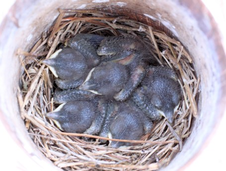 baby bluebirds at day 8