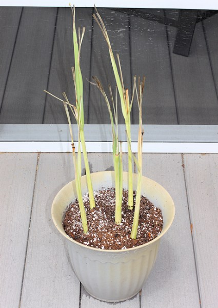 container with rooted lemongrass stalks
