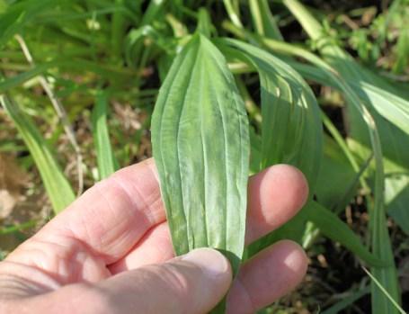 closeup of narrowleaf plantain
