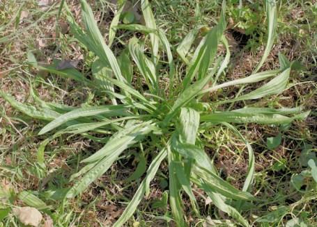 Narrowleaf Plantain, Plantago lanceolata