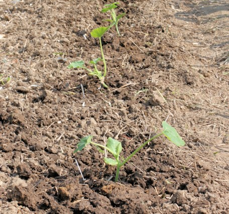 bush squashes after planting