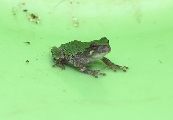 green frog visitor