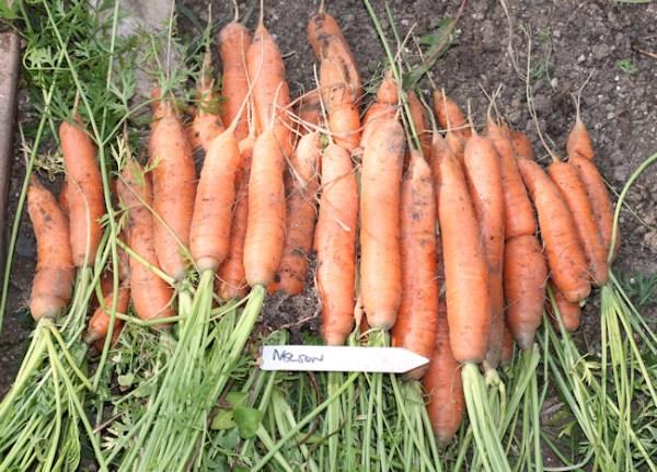 harvest of Nelson carrots