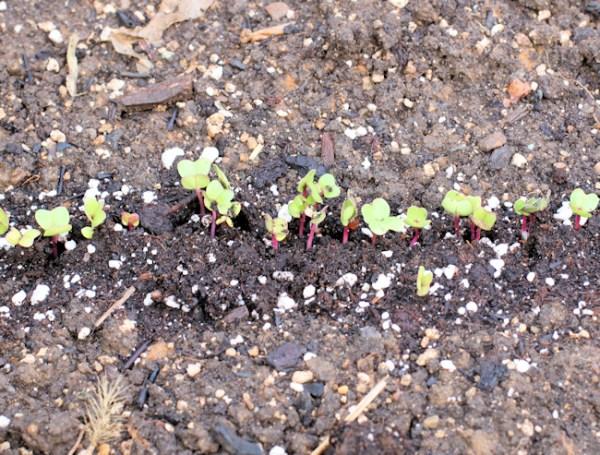 China Rose radishes sprouting
