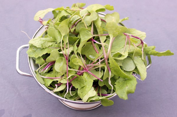 thinnings from China Rose radishes