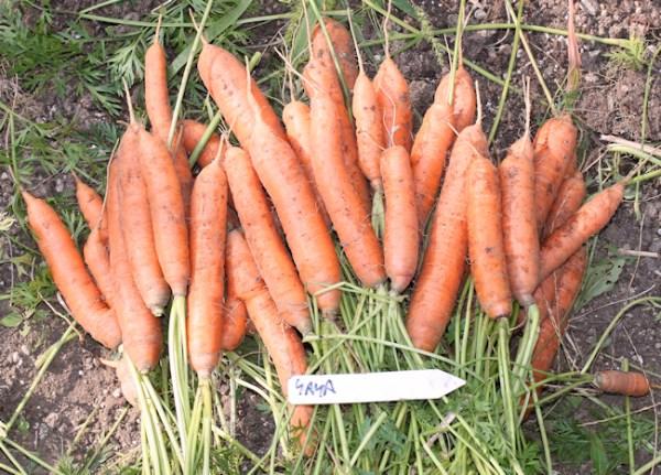 harvest of Yaya carrots