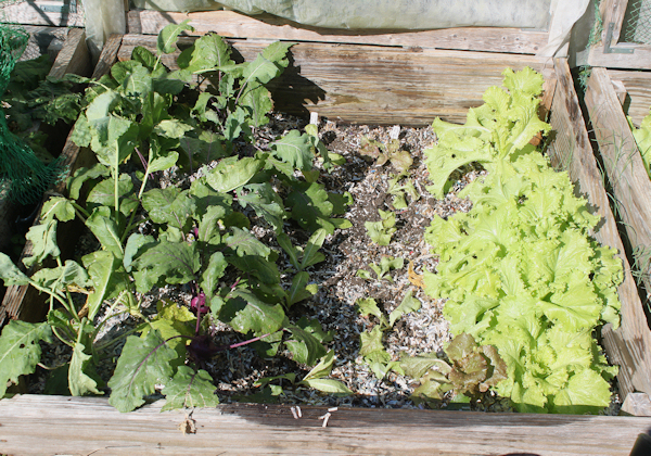bed with kohlrabi and lettuce