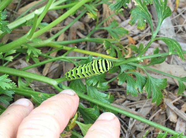 swallowtail caterpillar on parsley
