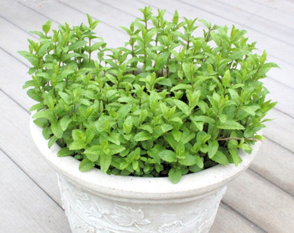 Spearmint 'The Best' growing in container